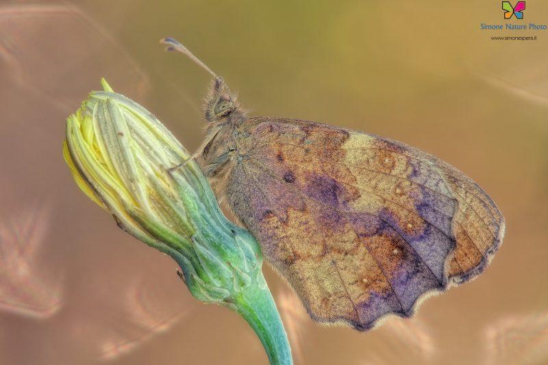 Pararge aegeria (Linnaeus 1758)