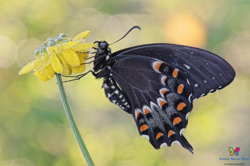 Papilio troilus (Linnaeus, 1758)