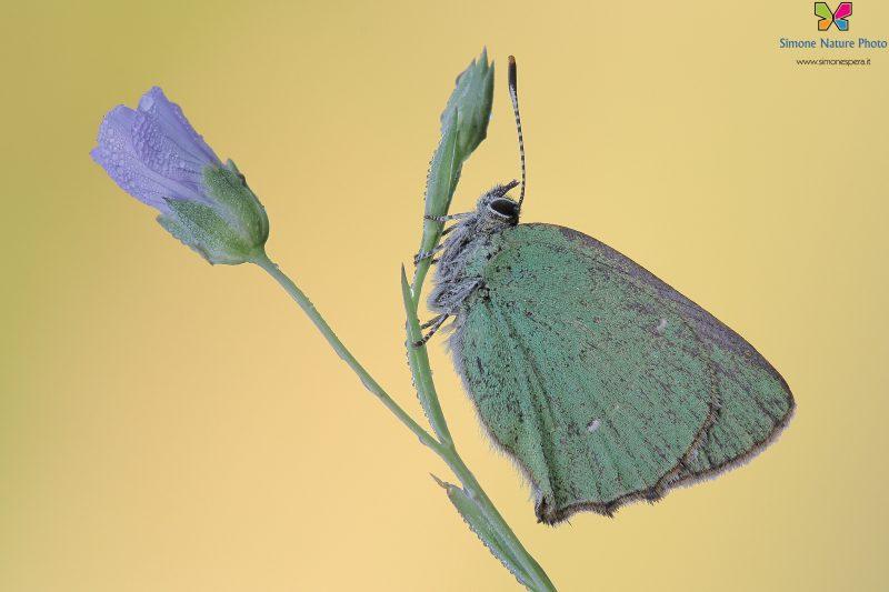 Callophrys rubi (Linnaeus, 1758)