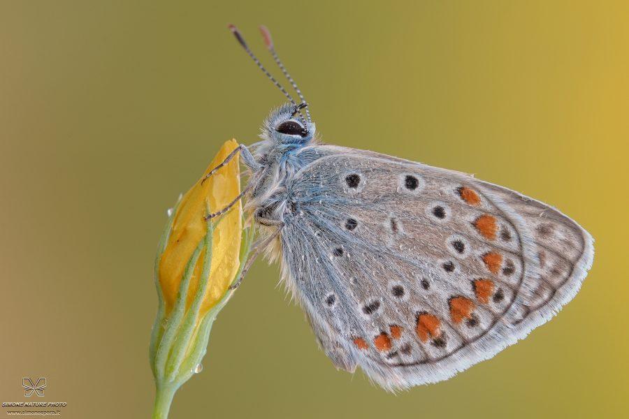 Polyommatus icarus (Rottemburg, 1775)