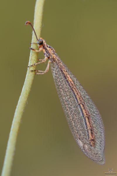 Macronemurus appendiculatus (Latreille, 1807)