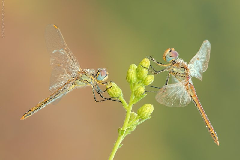 Sympetrum fonscolombii (Selys, 1840)