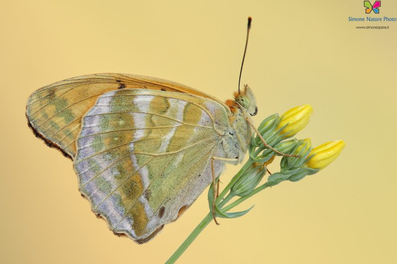 Argynnis paphia (Linnaeus, 1758)