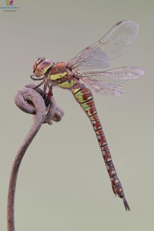 Aeshna mixta (Latreille, 1805) ♀