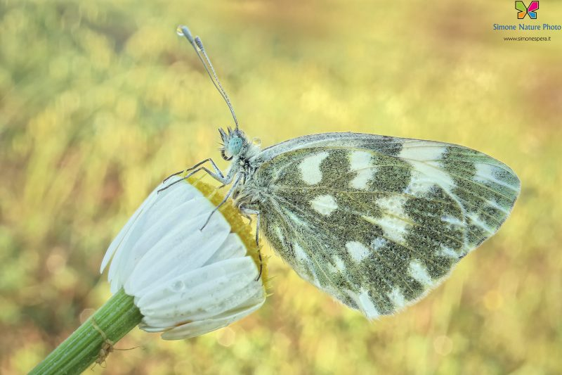 Pontia edusa (Fabricius, 1777)