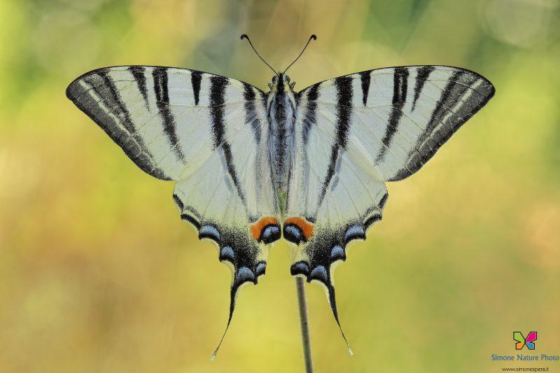 Iphiclides podalirius (Linnaeus, 1758)