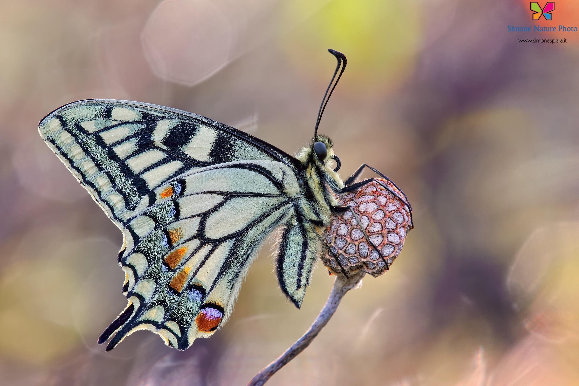 Papilio machaon (Linnaeus, 1758)