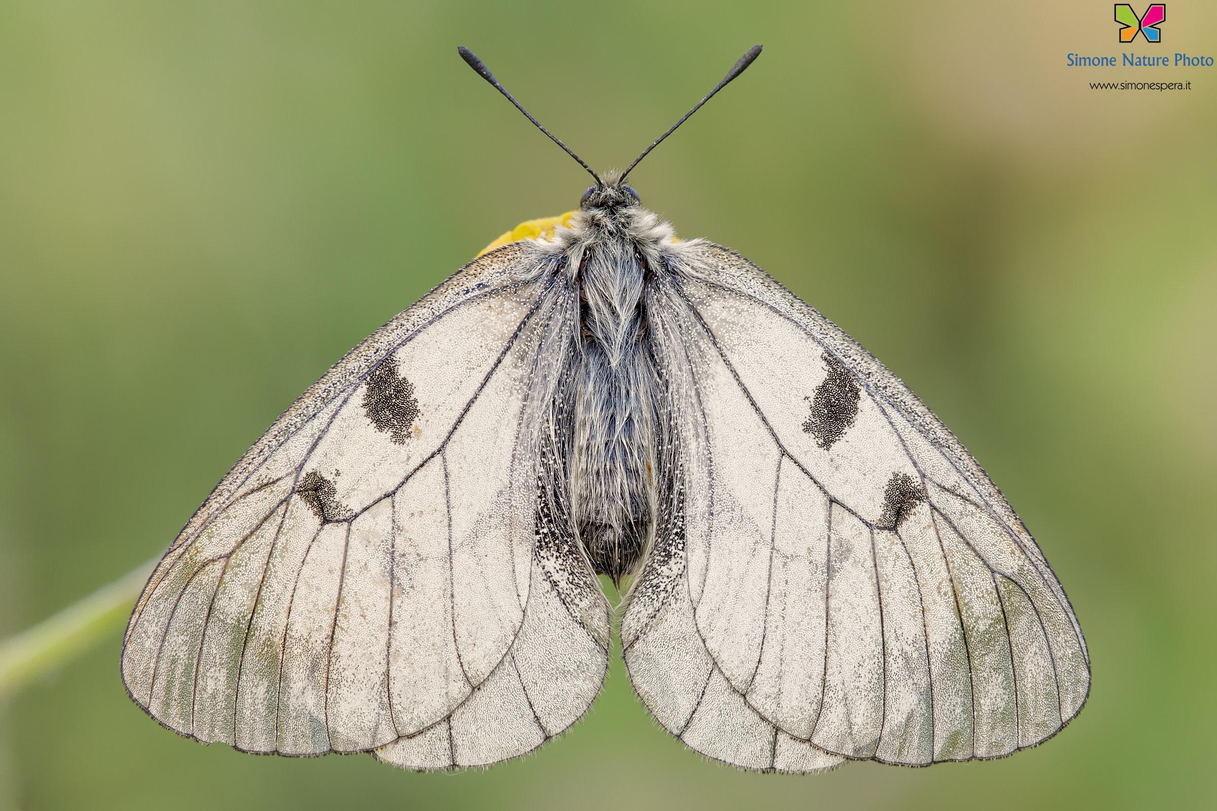 Parnassius (Driopa) mnemosyne (Linnaeus, 1758)