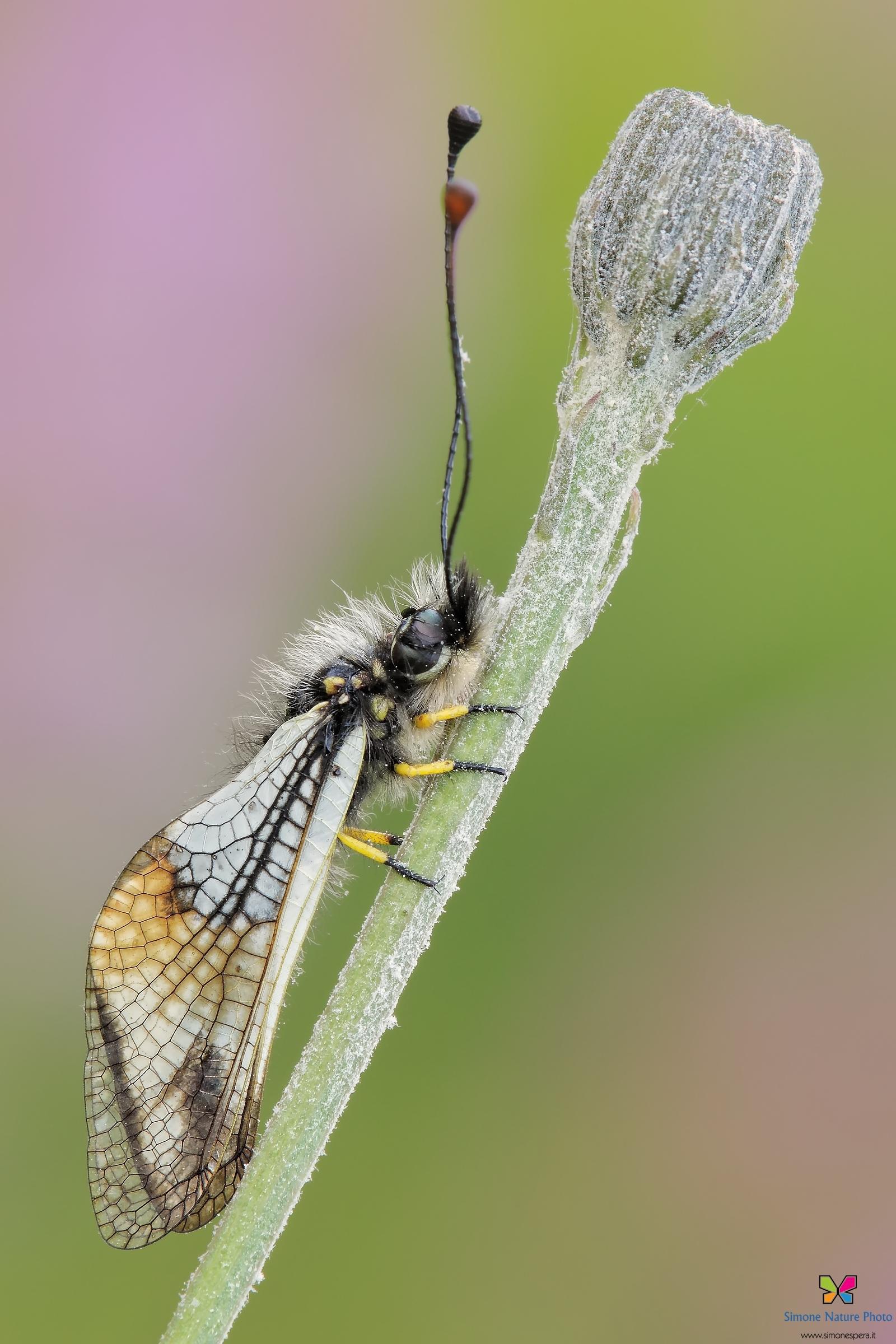 Libelloides lacteus (Brullé 1832)