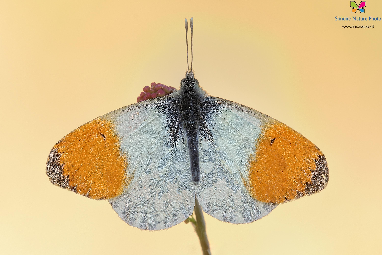Anthocharis cardamines (Linnaeus, 1758)