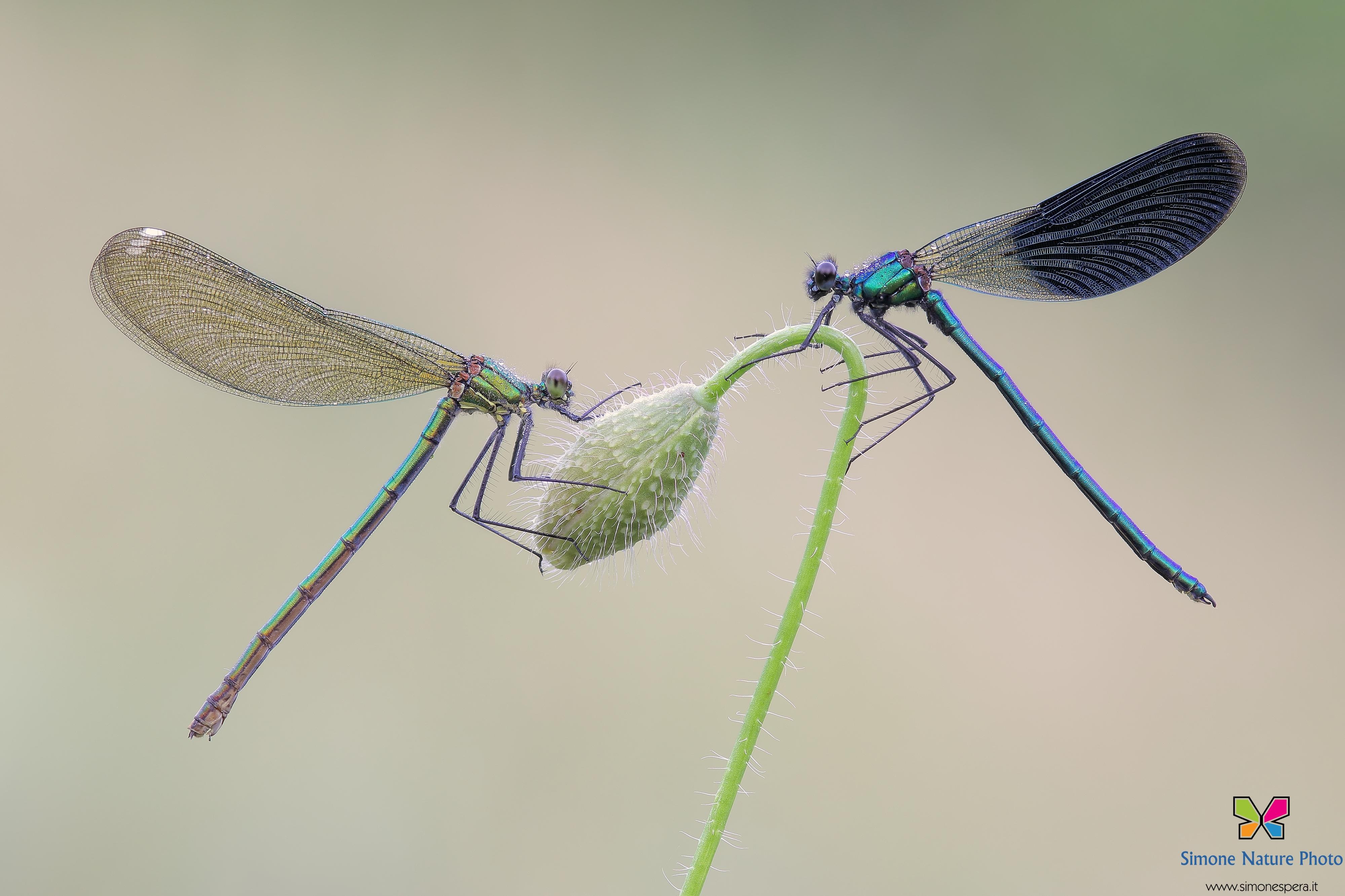 Calopteryx splendens (Harris, 1780)