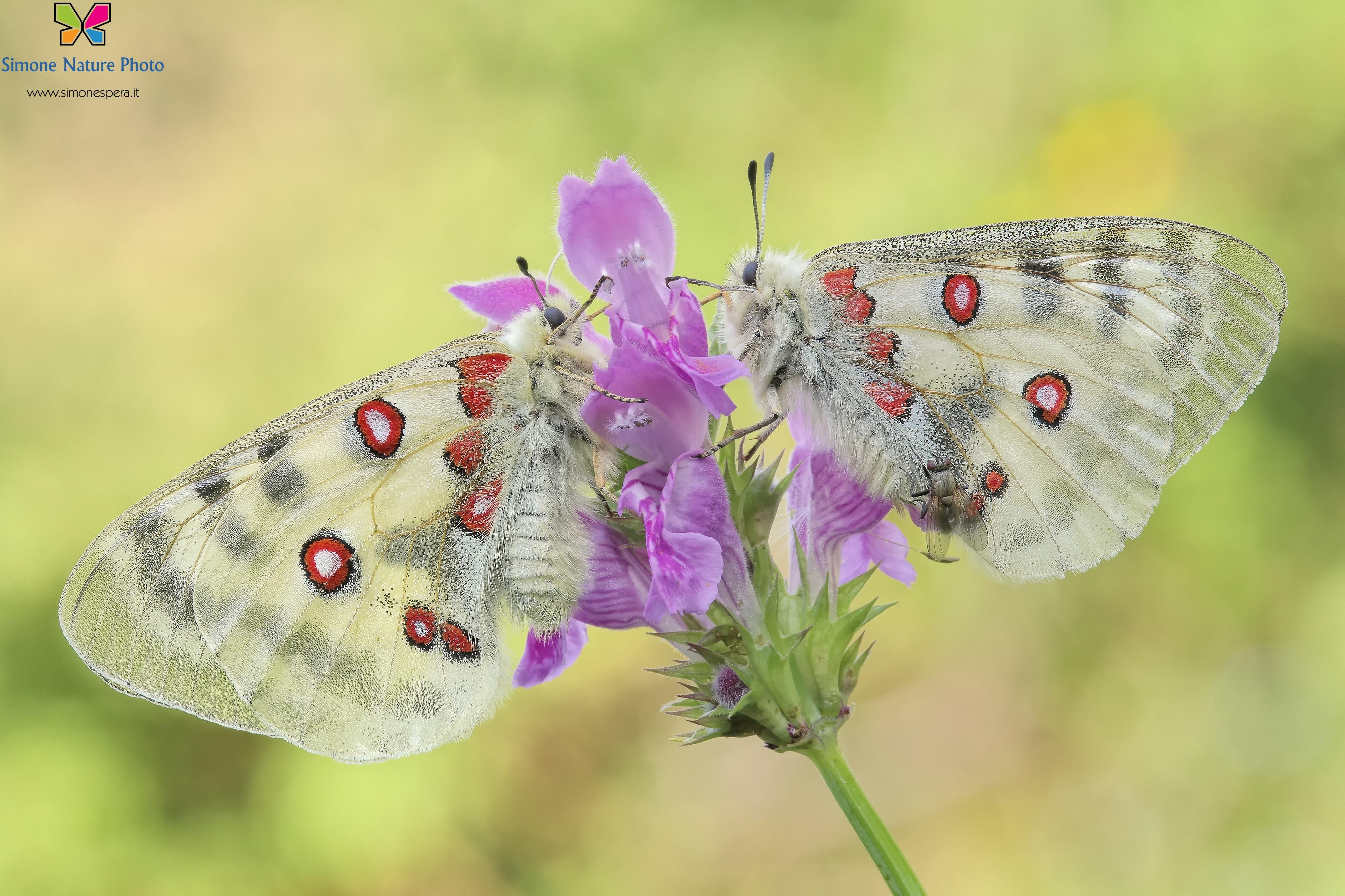 (La mosca) Parnassius apollo (Linnaeus, 1758)